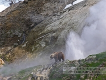 Камчатский бурый медведь у гейзера Аверий в Долине гейзеров на Камчатке