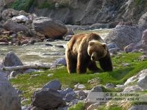 Камчатский бурый медведь у реки Гейзерной в Долине гейзеров на Камчатке