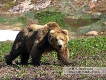 Камчатский бурый медведь. Гонный самец