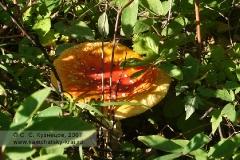 Мухомор в камчатском лесу