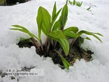 Лук охотский (черемша) — Allium ochotense Prokh. (семейство Луковые — Alliaceae)