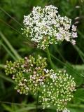 Лигустикум шведский — Ligusticum scoticum L. (семейство Сельдерейные — Apiaceae)