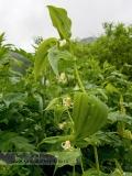 Стрептопус стеблеобъемлющий — Streptopus amplexifolius (L.) DC. — (семейство Спаржевые — Asparagaceae)