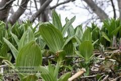 Чемерица остродольная — Veratrum oxysepalum Turcz. (семейство Безвременниковые — Colchicaceae)