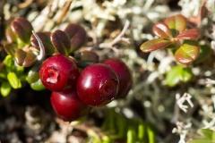 Брусника обыкновенная — Vaccinium viti-idaea L. s. l. (семейство Ericaceae — Вересковые)
