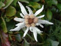 Эдельвейс камчатский — Leontopodium kamtschaticum Kom. (семейство Астровые — Asteraceae)
