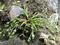 Мшанка большая — Sagina maxima A. Gray. (семейство Гвоздичные — Caryophyllaceae)