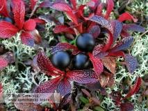 Арктоус альпийский — Arctous alpina (L.) Niedenzu (семейство Вересковые — Ericaceae)