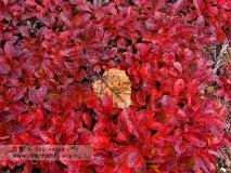 Листья арктоуса альпийского — Arctous alpina (L.) Niedenzu (семейство Вересковые — Ericaceae)