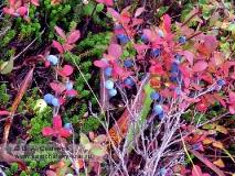 Куст голубики обыкновенной с ягодой