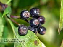 Боярышник зеленомякотный — Crataegus chlorosarca Maxim. Семейство Розоцветные — Rosaceae